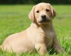 Какъв мъж е според неговото куче: Лабрадор Ретривър